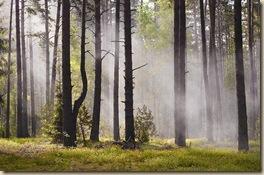 Михаил Романовский лесной туман